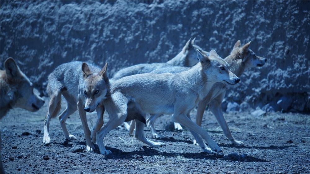 《狼图腾》将超前点映 冯绍峰人狼情深片段曝光
