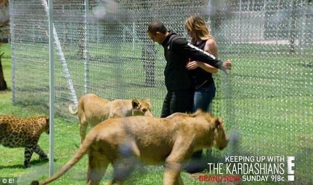 节目被狮群包围