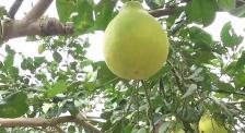 杜江霍思燕力薦:希望味美價廉的蜂蜜白柚茶,幫宣恩擺脫貧困