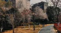 武汉的樱花开了!我们期待的日子已经不远了