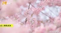 航拍武汉东湖樱花盛开!待疫情结束共赏繁花之美
